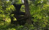Tumbado el árbol en el bosque Traducido del servicio de «Yandex.Traductor»