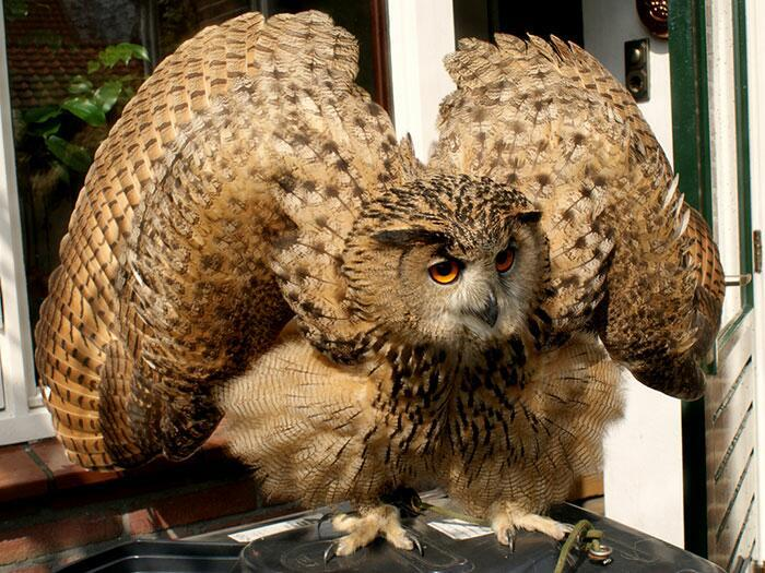 Когда им угрожает опасность или они хотят кого-то напугать, совы поднимают крылья, чтобы казаться больше