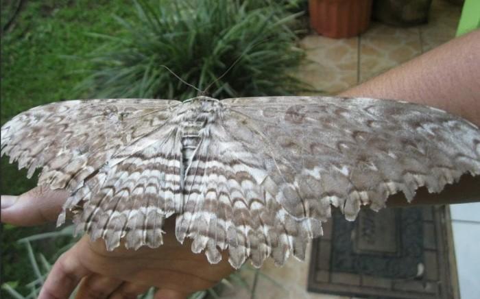 Бабочка (а точнее моль) вида Endoxyla cinereus