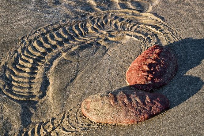Панцирный моллюск КриптохитонСтеллера