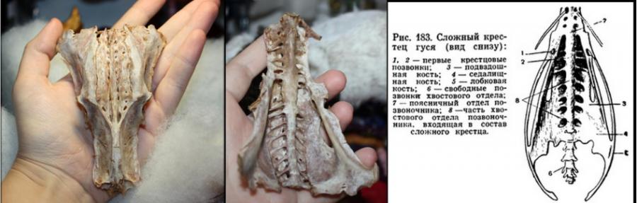 Крестец гуся.  Может быть принят за череп инопланетянина или чупакабры.