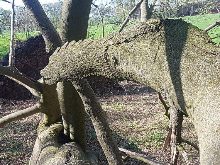 """""""Es un árbol roto que parece un dinosaurio o un dragón»"""