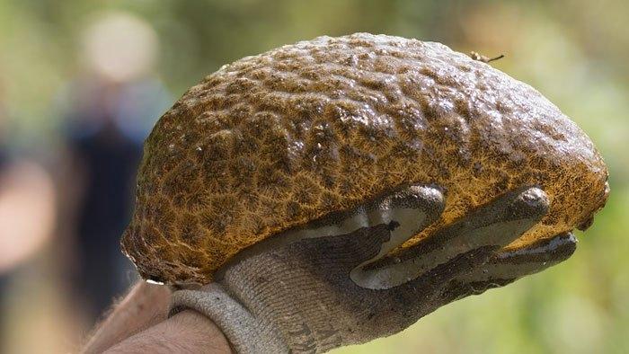Мшанка (Pectinatella magnifica).  Зеленовато-коричневая слизистая массапредставляет собойколонию сотен тысяч организмов, которые функционируют как единое целое. Они встречаются, как правило, в пресноводных водоёмах.