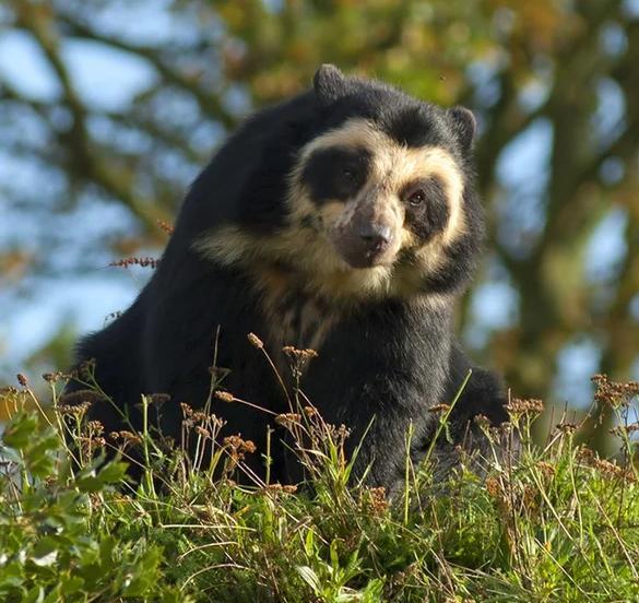 Очковый медведь  Обитает он в горных лесах Южной Америки. Питается растительной пищей. Хотя размеры и довольно крупные, но он очень ловко лазает по деревьям. На них он строит гнезда для отдыхаи добывает пищу. По отношению к человеку абсолютно не агрессивен.  Иногда можно встретить упоминание о сравнении характерной раскраски его морды с черепом.