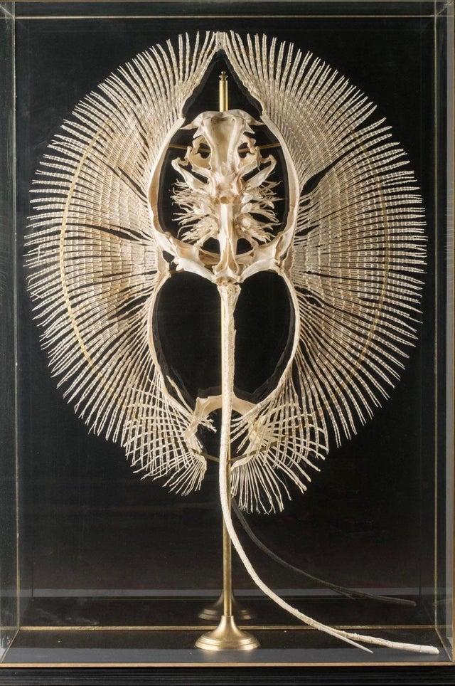 Скелет ската