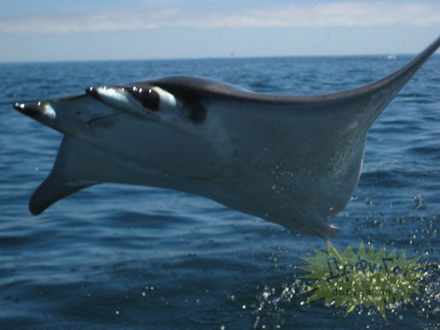 Скат Мобула с близкого расстояния.  Скат Мобула - родственник Морских дьяволов, которые водятся в Мексиканском заливе.  Представители этого вида скатов выпрыгивают из воды на несколько метров, выделывая в воздухе немыслимые сальто и пируэты.  Принимают за НЛО над водной поверхностью (преимущественно на фото).